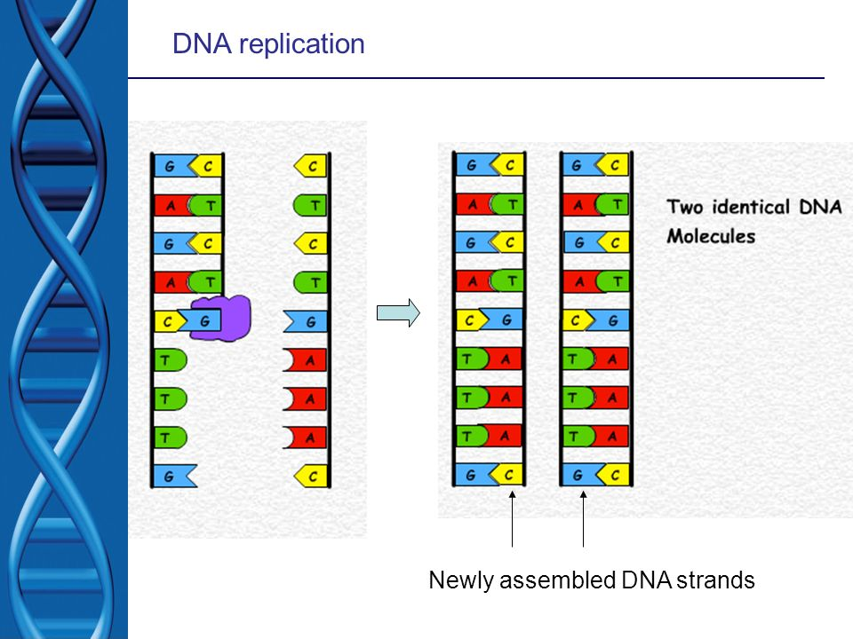 DNA replication Newly assembled DNA strands