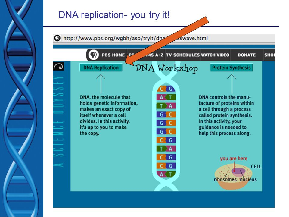 DNA replication- you try it!