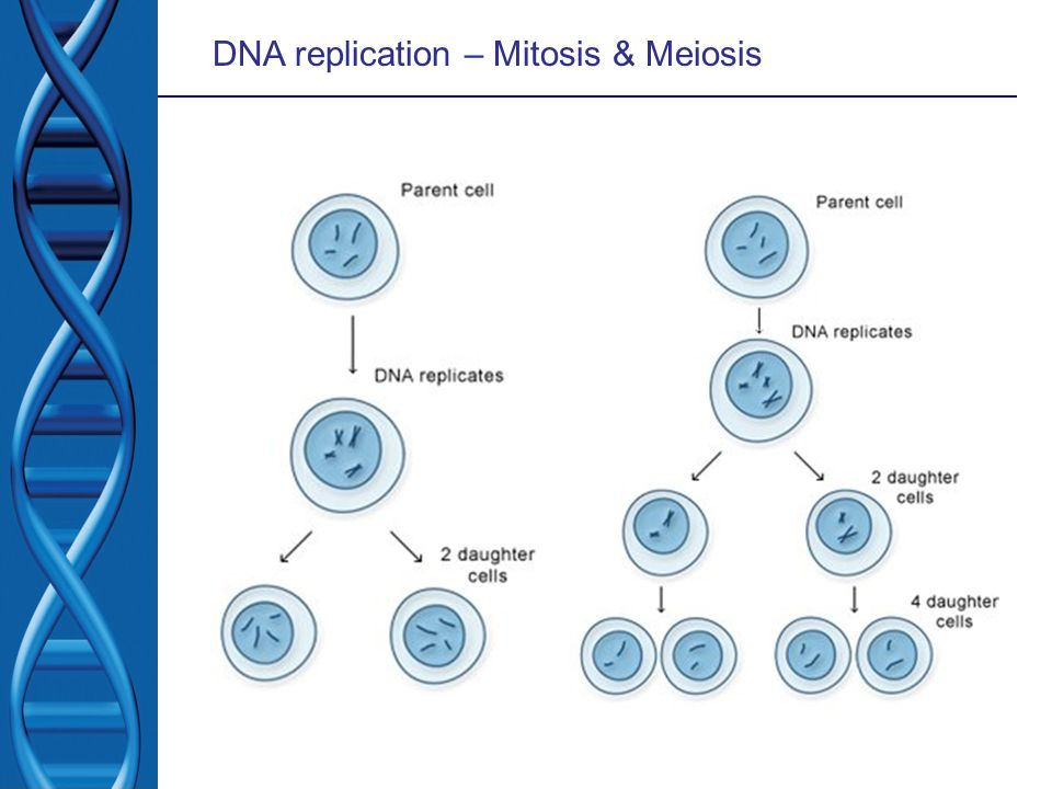 DNA replication – Mitosis & Meiosis