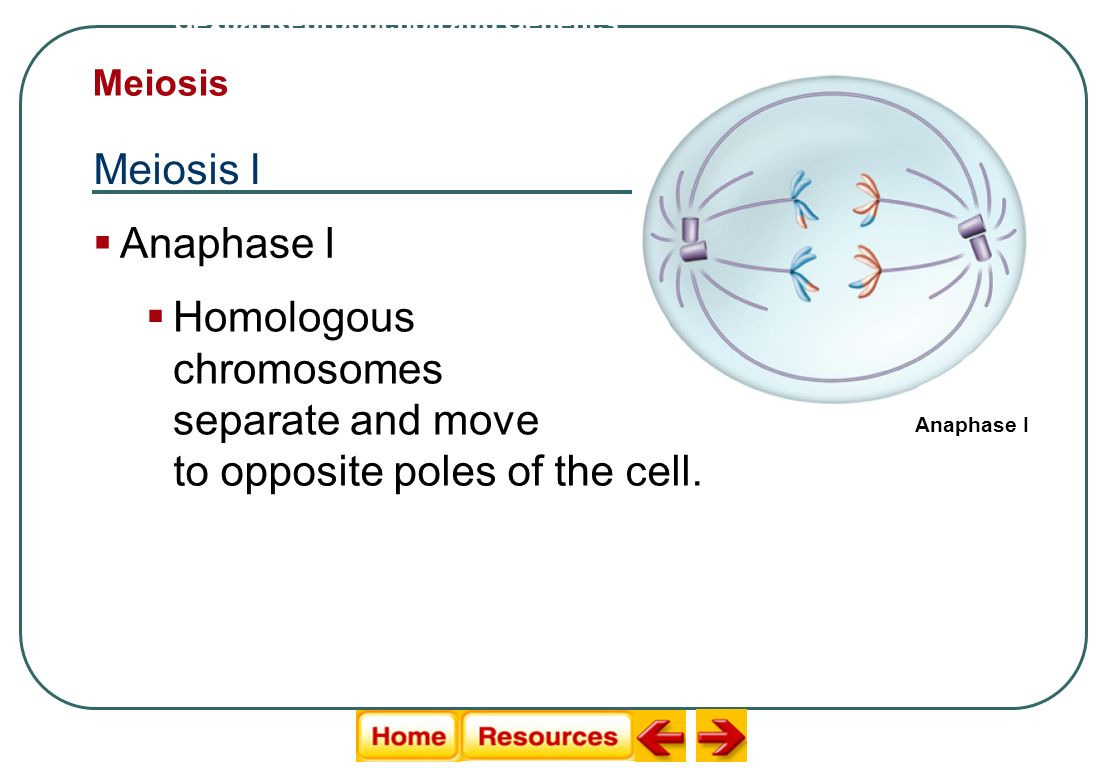 Homologous chromosomes separate and move