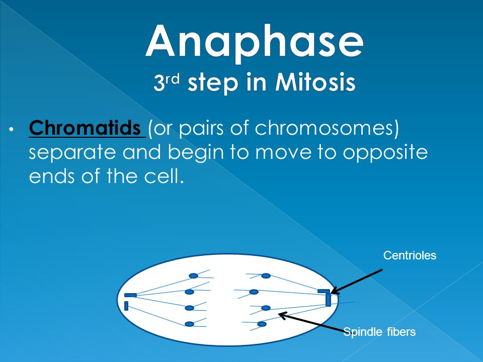 Anaphase 3rd step in Mitosis