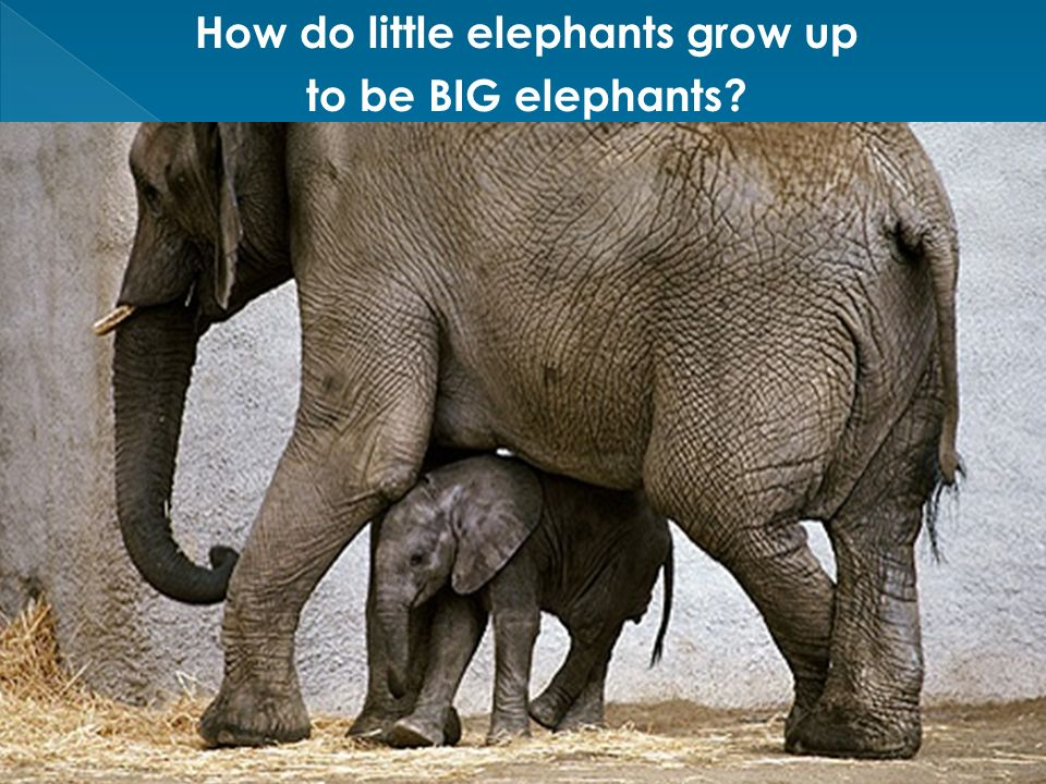 How do little elephants grow up