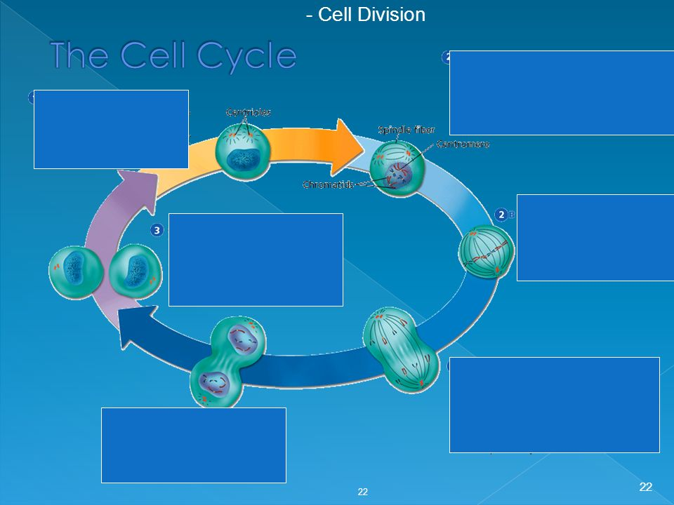 - Cell Division The Cell Cycle 22