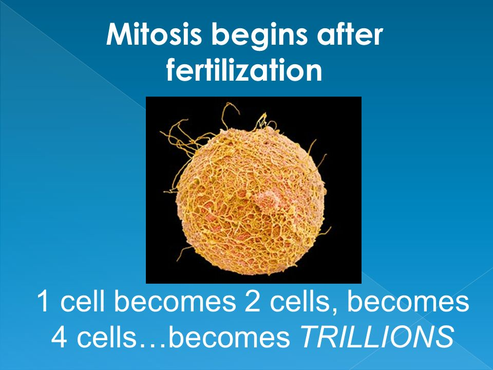 Mitosis begins after fertilization