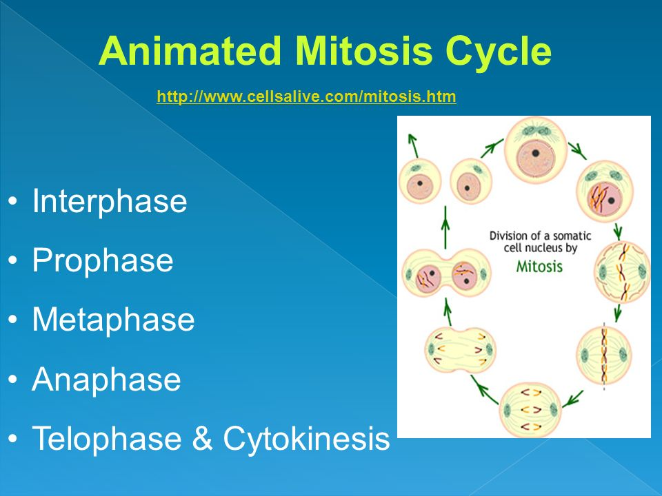 Animated Mitosis Cycle