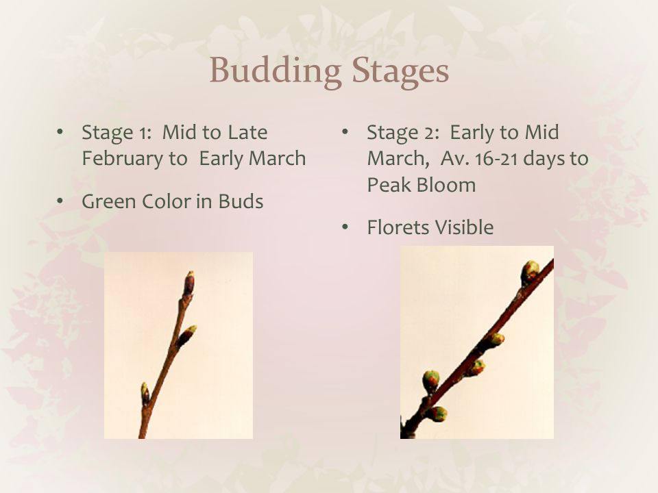Budding Stages Stage 1: Mid to Late February to Early March