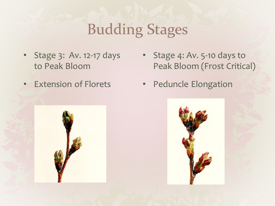 Budding Stages Stage 3: Av. 12-17 days to Peak Bloom