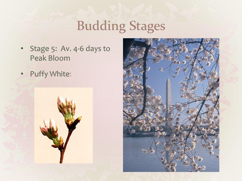 Budding Stages Stage 5: Av. 4-6 days to Peak Bloom Puffy White: