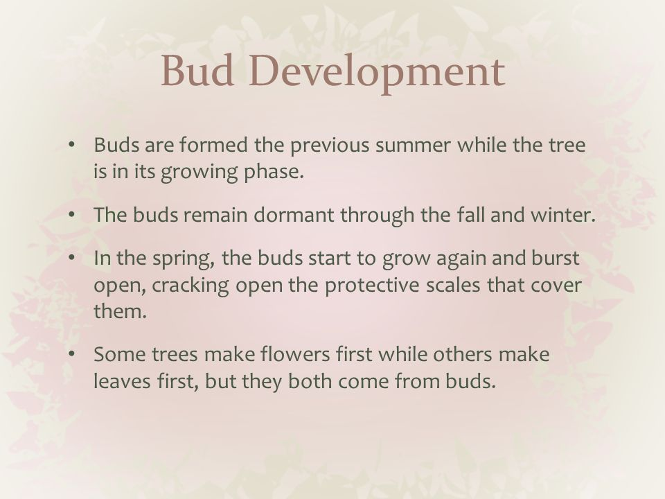 Bud Development Buds are formed the previous summer while the tree is in its growing phase. The buds remain dormant through the fall and winter.