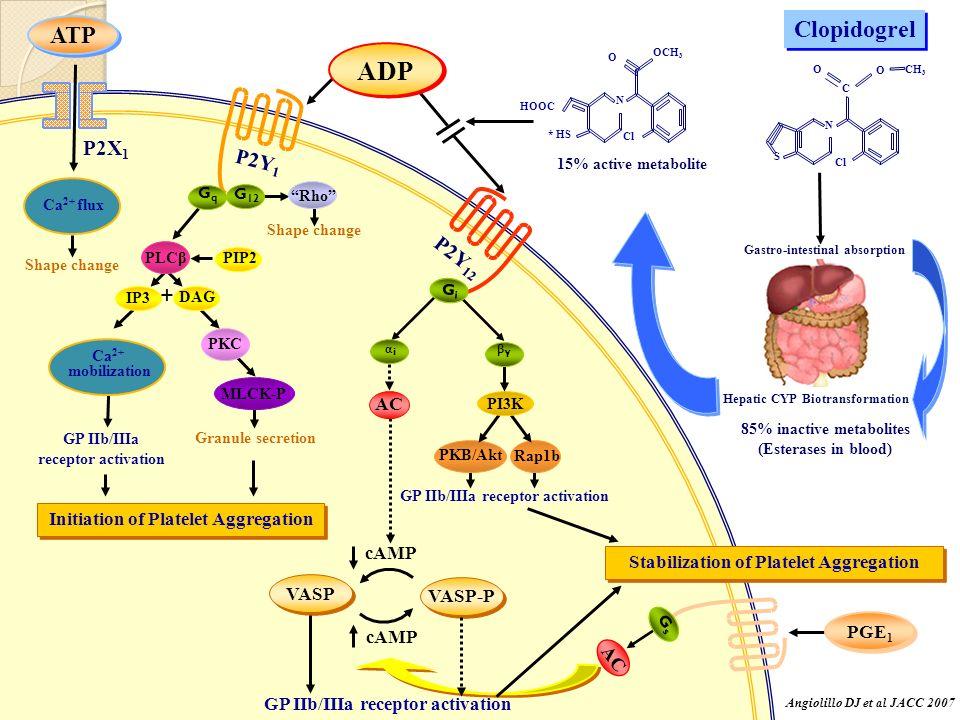 ADP Clopidogrel ATP + P2X1 P2Y1 P2Y12 AC