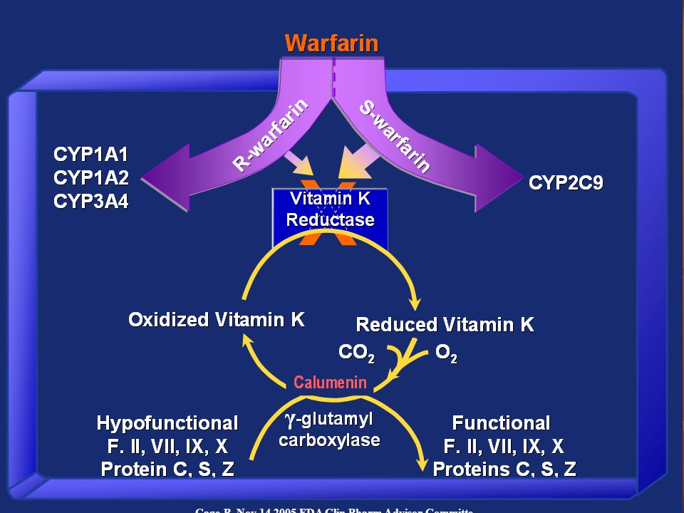 The more potent S-warfarin is metabolized almost exclusively by CPY2C9 in the liver. Polymorphism of CYP2C9 in Caucasians accounts for some of the interpatient variability of warfarin daily dose. Blood clotting factors II, VII, IX, X, and endogenous anticoagulant proteins C, S, and Z are activated by gamma-glutamyl carboxylase with required cofactor, reduced fom of vitamin K, which is recycled by vitamin K 1,2 epoxide reductase complex (VKORC). Warfarin binds to the protein vitamin K reductase complex subunit 1 (VKORC1) encoded by gene VKORC1.