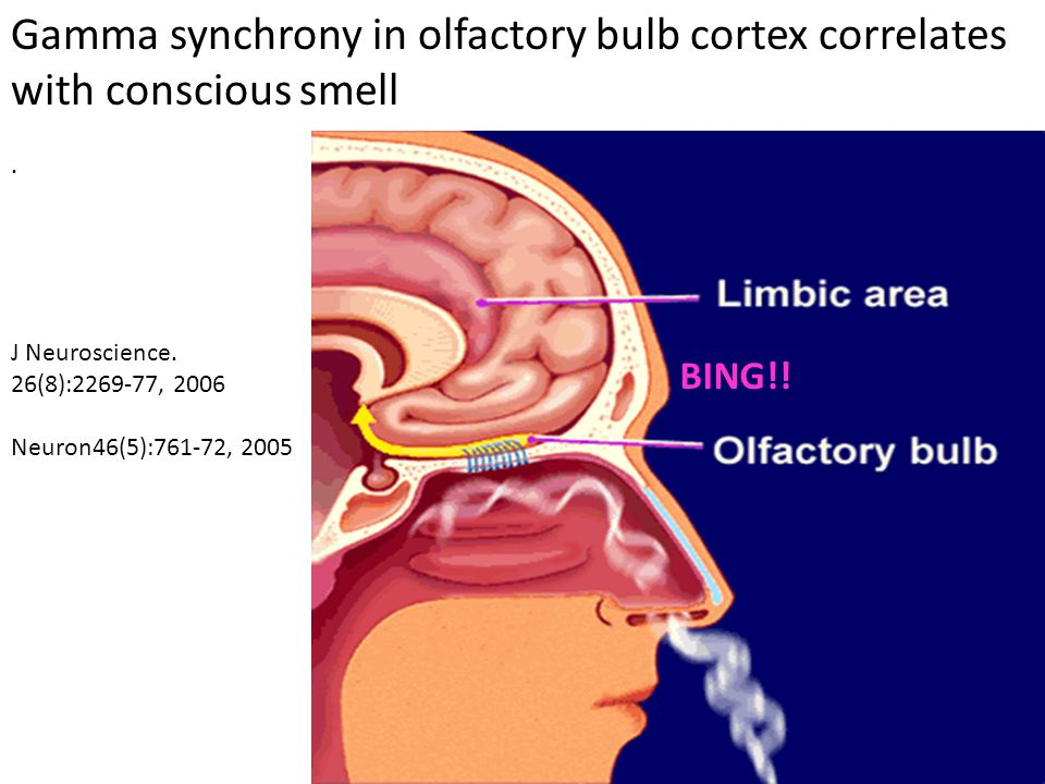 Gamma synchrony in olfactory bulb cortex correlates with conscious smell