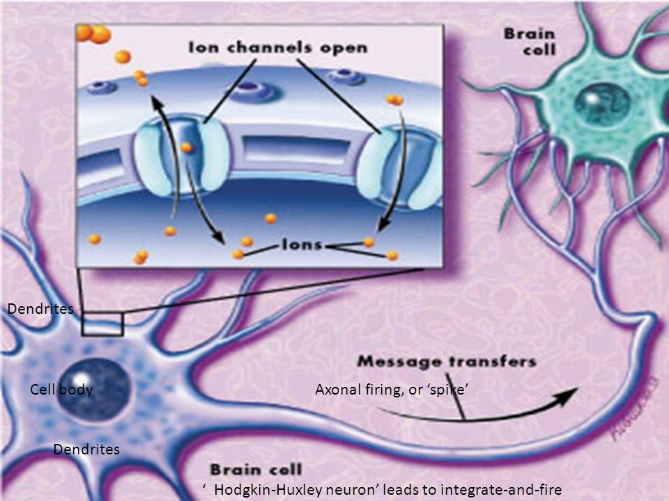 Dendrites Cell body Axonal firing, or 'spike'