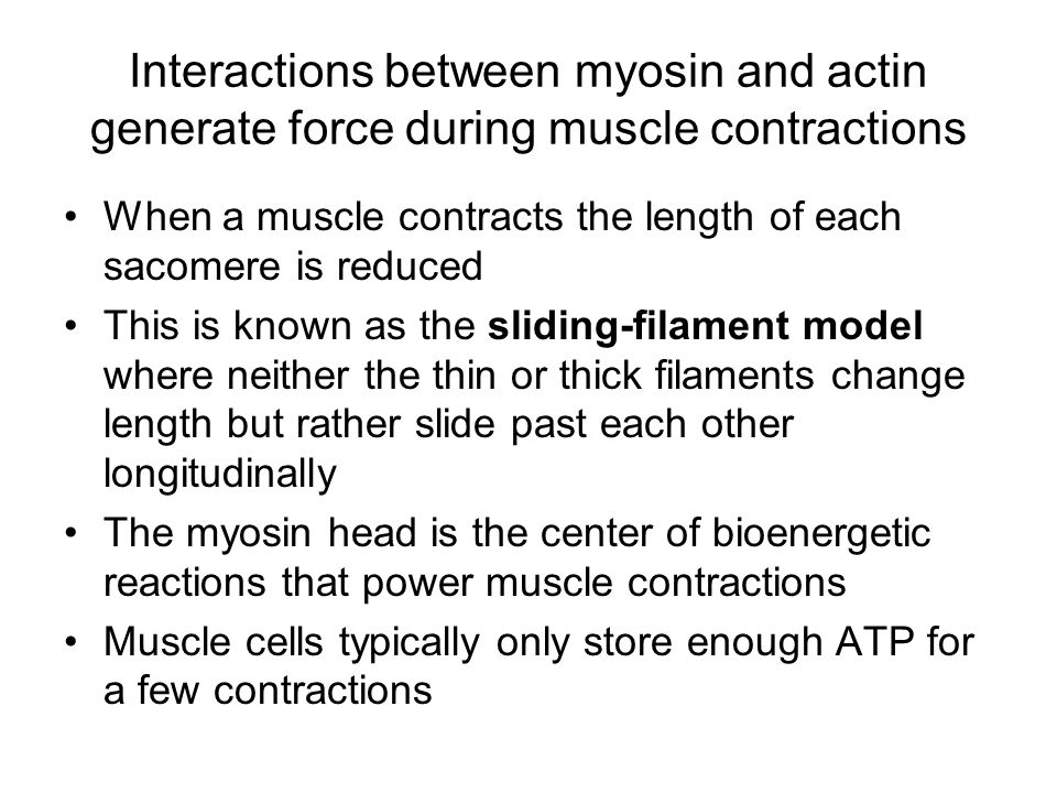 Interactions between myosin and actin generate force during muscle contractions