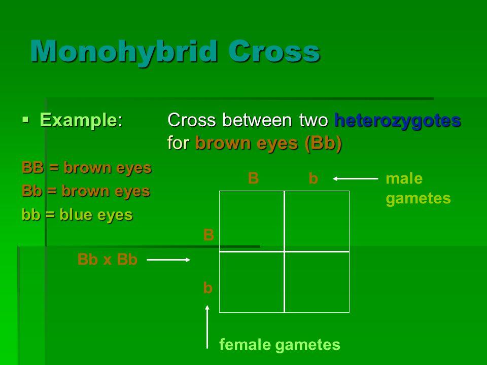 Monohybrid Cross Example: Cross between two heterozygotes for brown eyes (Bb) BB = brown eyes. Bb = brown eyes.