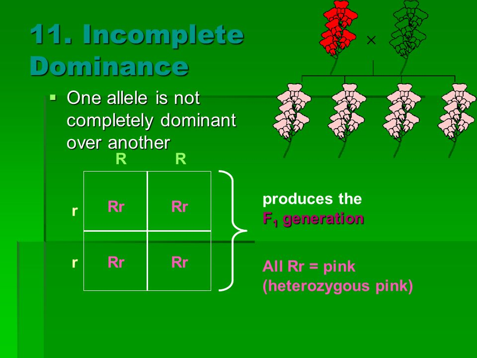 11. Incomplete Dominance One allele is not completely dominant over another. r. R. All Rr = pink.