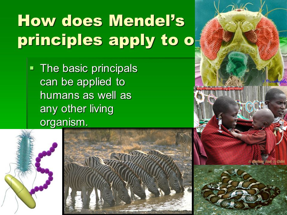 How does Mendel's principles apply to organisms
