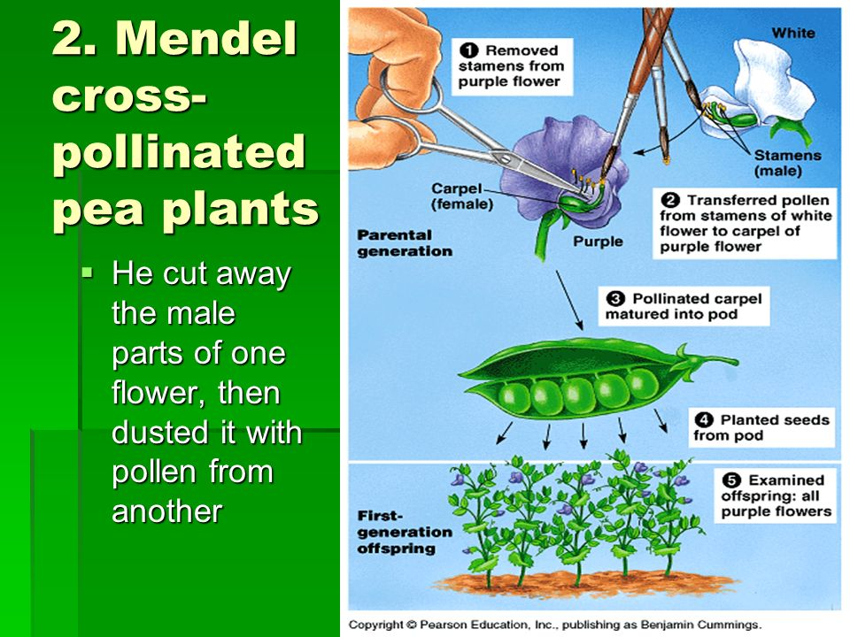2. Mendel cross-pollinated pea plants