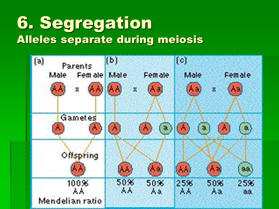 6. Segregation Alleles separate during meiosis