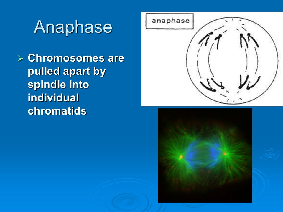 Anaphase Chromosomes are pulled apart by spindle into individual chromatids