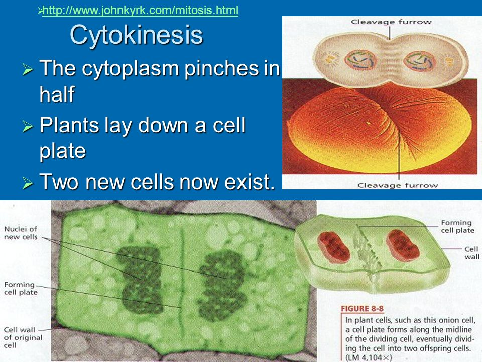 Cytokinesis The cytoplasm pinches in half Plants lay down a cell plate