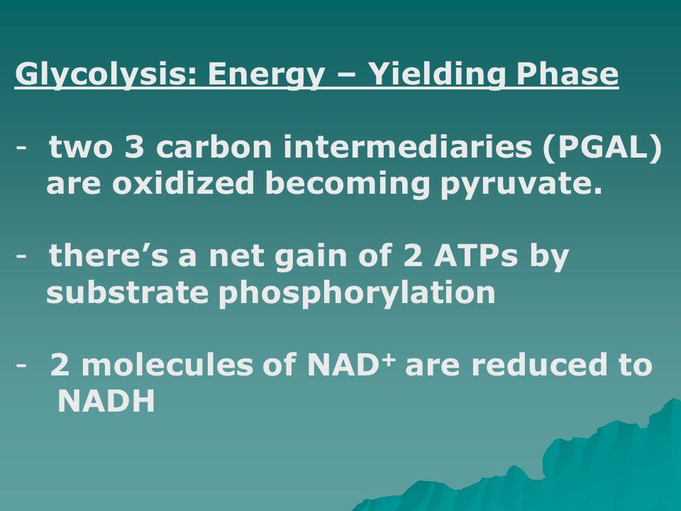 Glycolysis: Energy – Yielding Phase