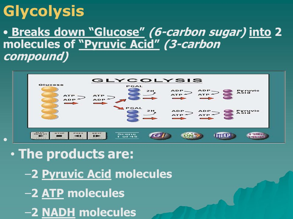 Glycolysis The products are: