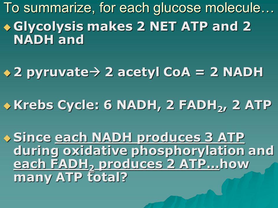 To summarize, for each glucose molecule…