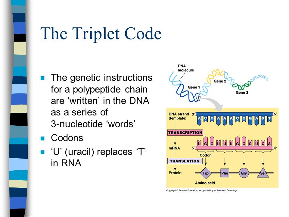 The Triplet Code The genetic instructions for a polypeptide chain are 'written' in the DNA as a series of 3-nucleotide 'words'
