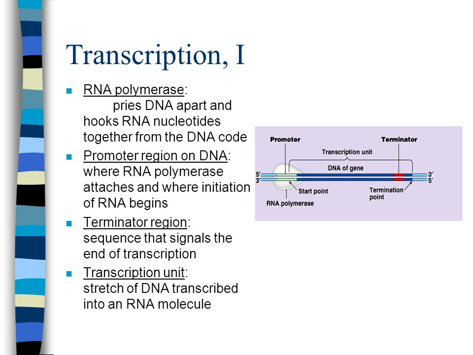 Transcription, I RNA polymerase: pries DNA apart and hooks RNA nucleotides together from the DNA code.