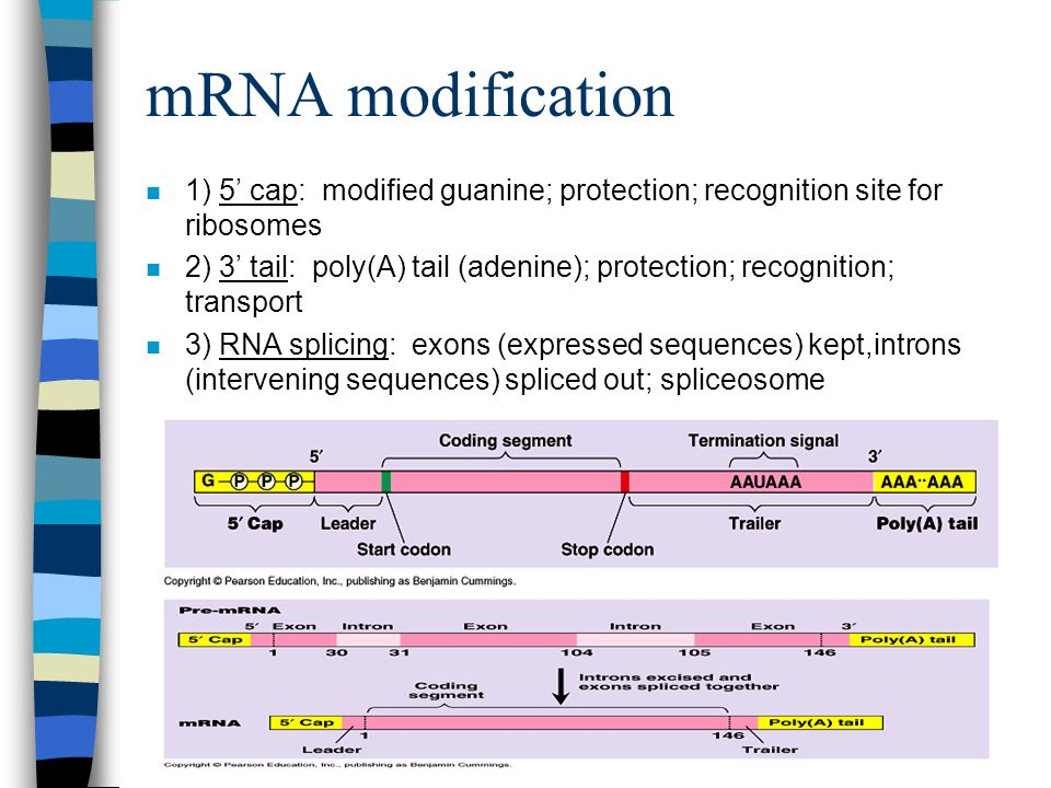 mRNA modification 1) 5' cap: modified guanine; protection; recognition site for ribosomes.