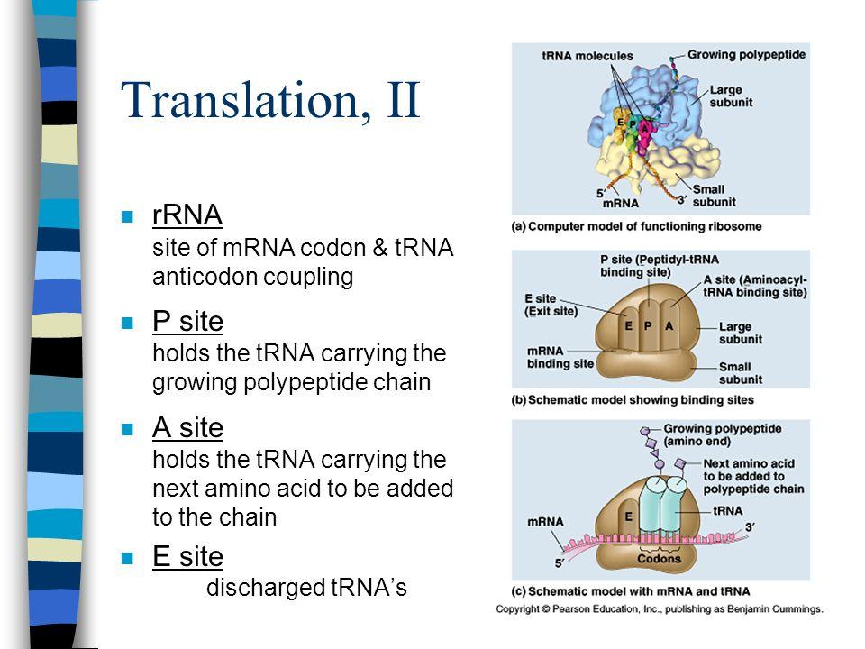 Translation, II rRNA site of mRNA codon & tRNA anticodon coupling