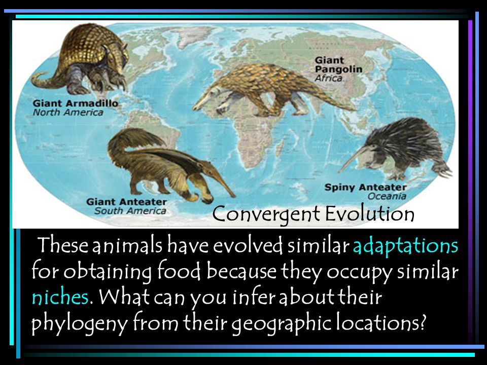Convergent Evolution These animals have evolved similar adaptations. for obtaining food because they occupy similar.