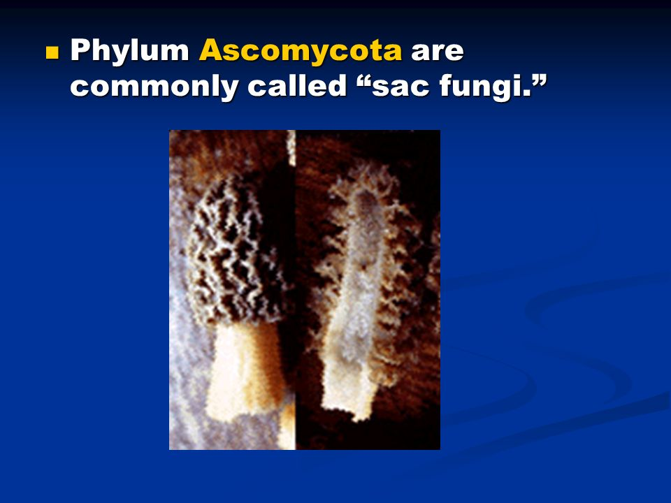 Phylum Ascomycota are commonly called sac fungi.