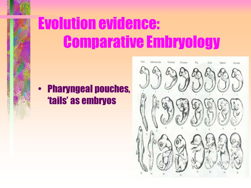Evolution evidence: Comparative Embryology