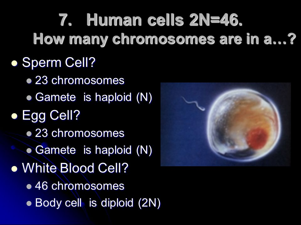 Human cells 2N=46. How many chromosomes are in a…