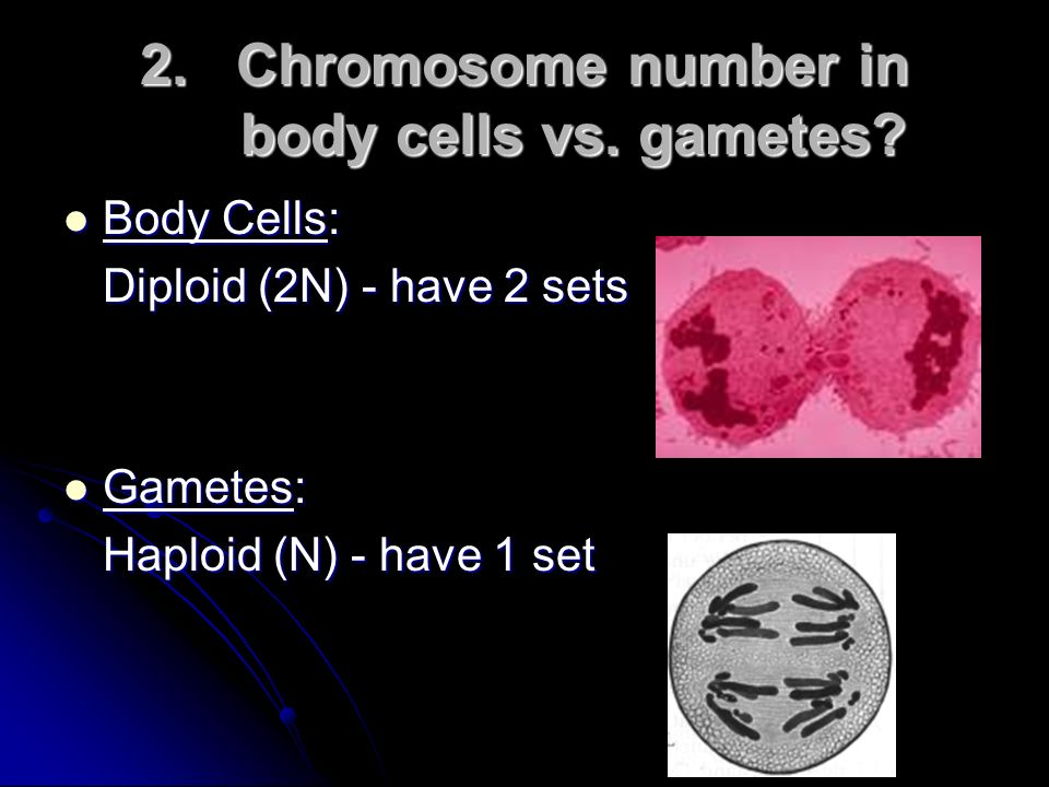 Chromosome number in body cells vs. gametes