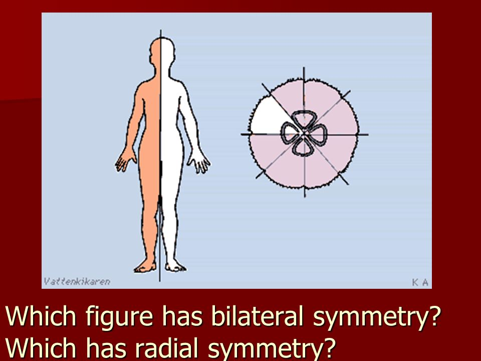 Which figure has bilateral symmetry Which has radial symmetry