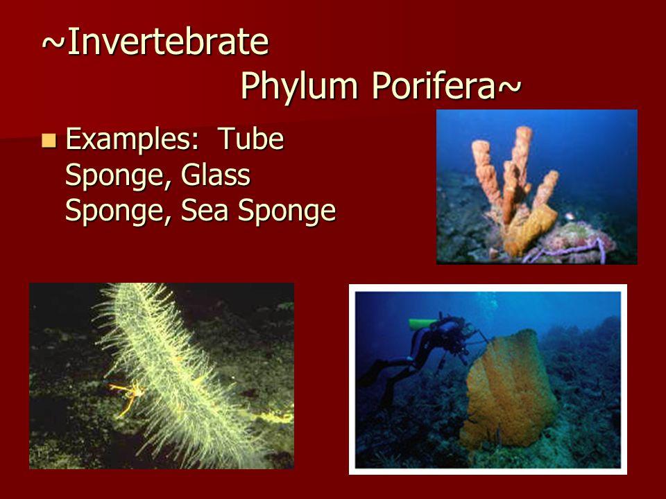 ~Invertebrate Phylum Porifera~