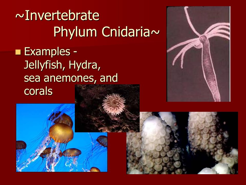 ~Invertebrate Phylum Cnidaria~
