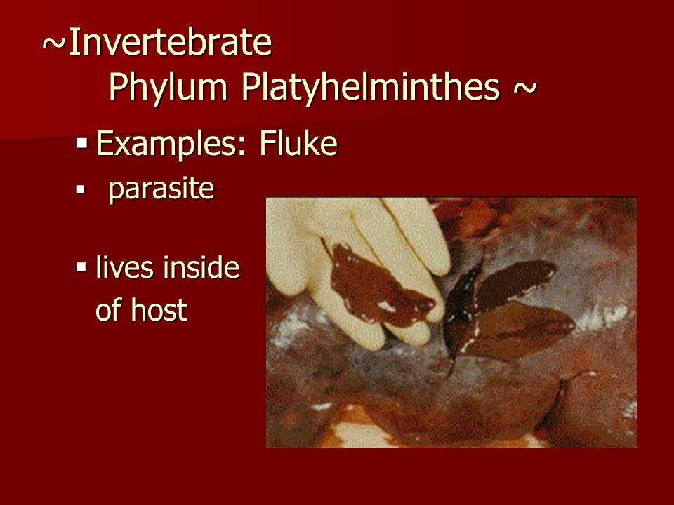 ~Invertebrate Phylum Platyhelminthes ~