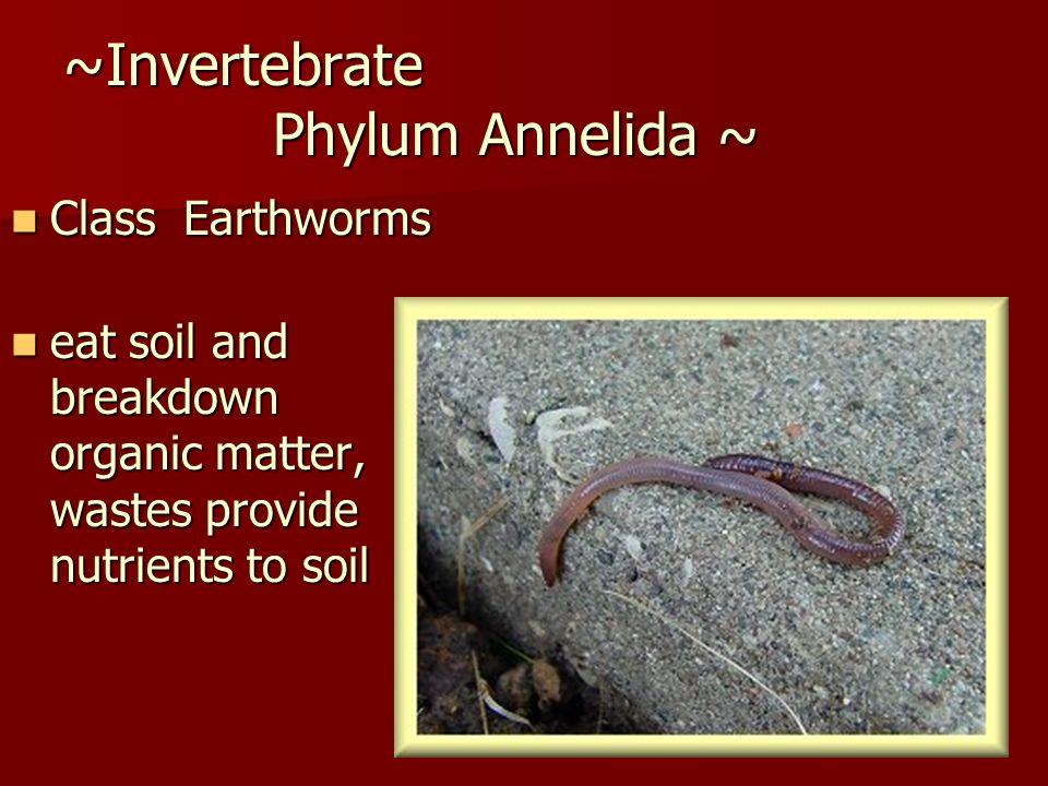 ~Invertebrate Phylum Annelida ~