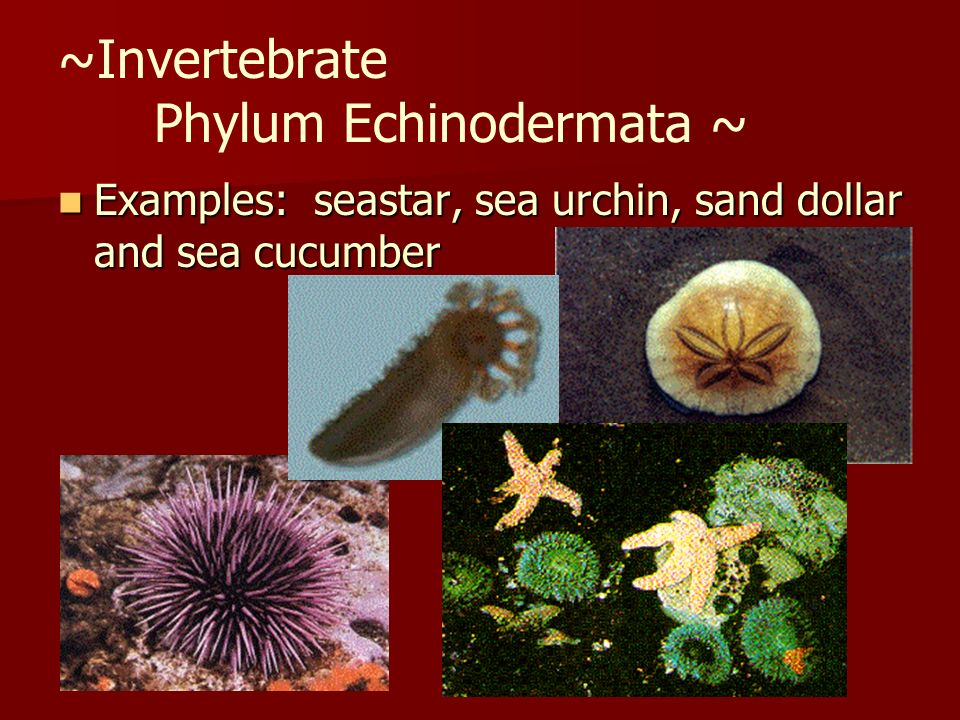 ~Invertebrate Phylum Echinodermata ~