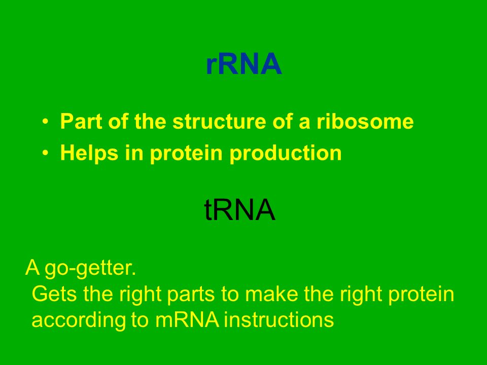rRNA tRNA Part of the structure of a ribosome