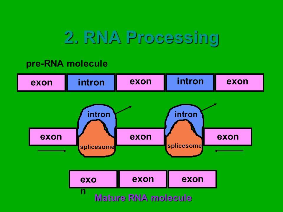 2. RNA Processing pre-RNA molecule intron exon exon exon