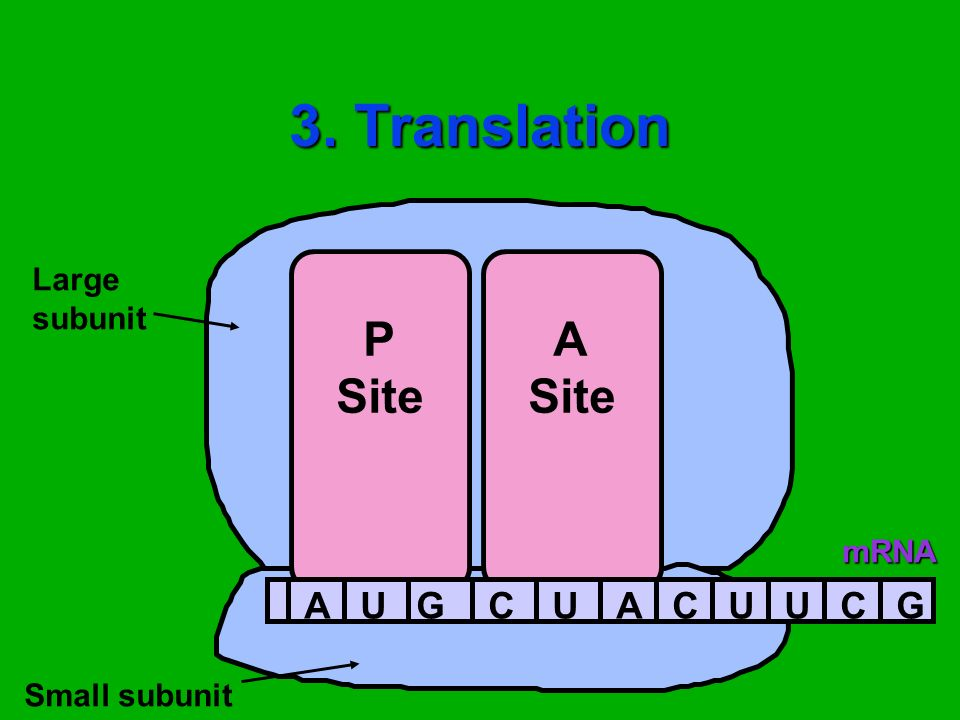 3. Translation Large subunit P Site A Site mRNA A U G C Small subunit