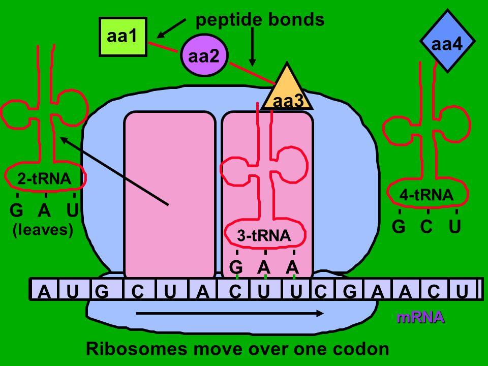 Ribosomes move over one codon