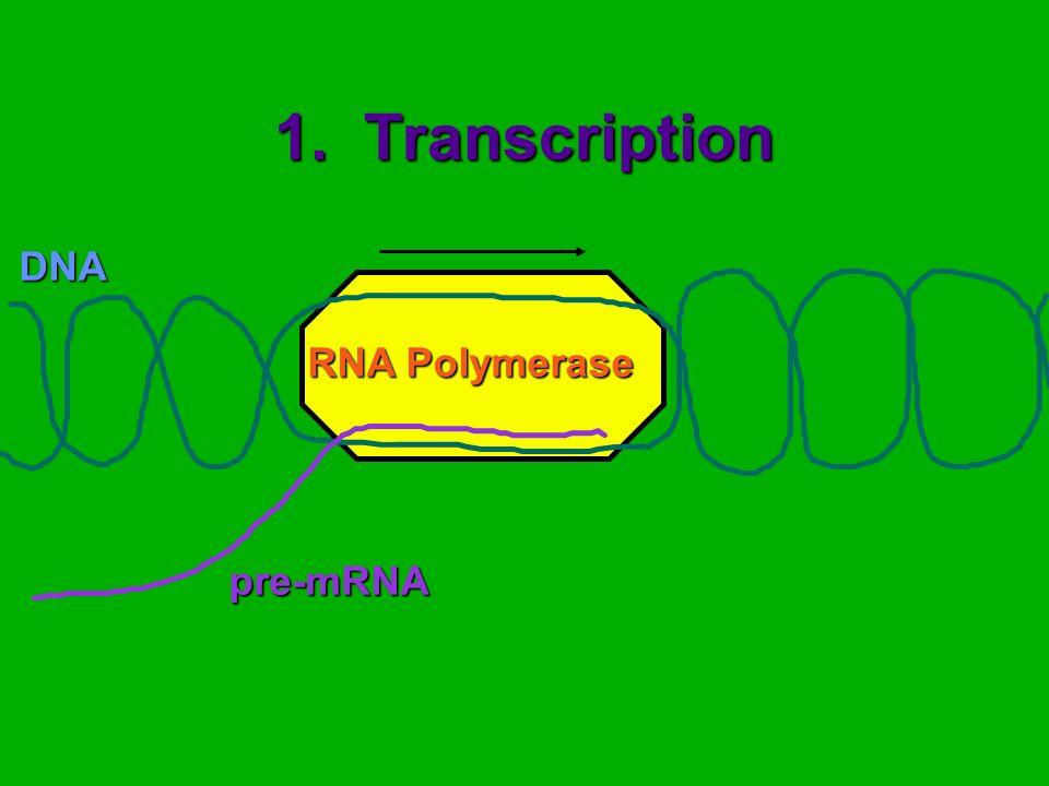 1. Transcription DNA pre-mRNA RNA Polymerase