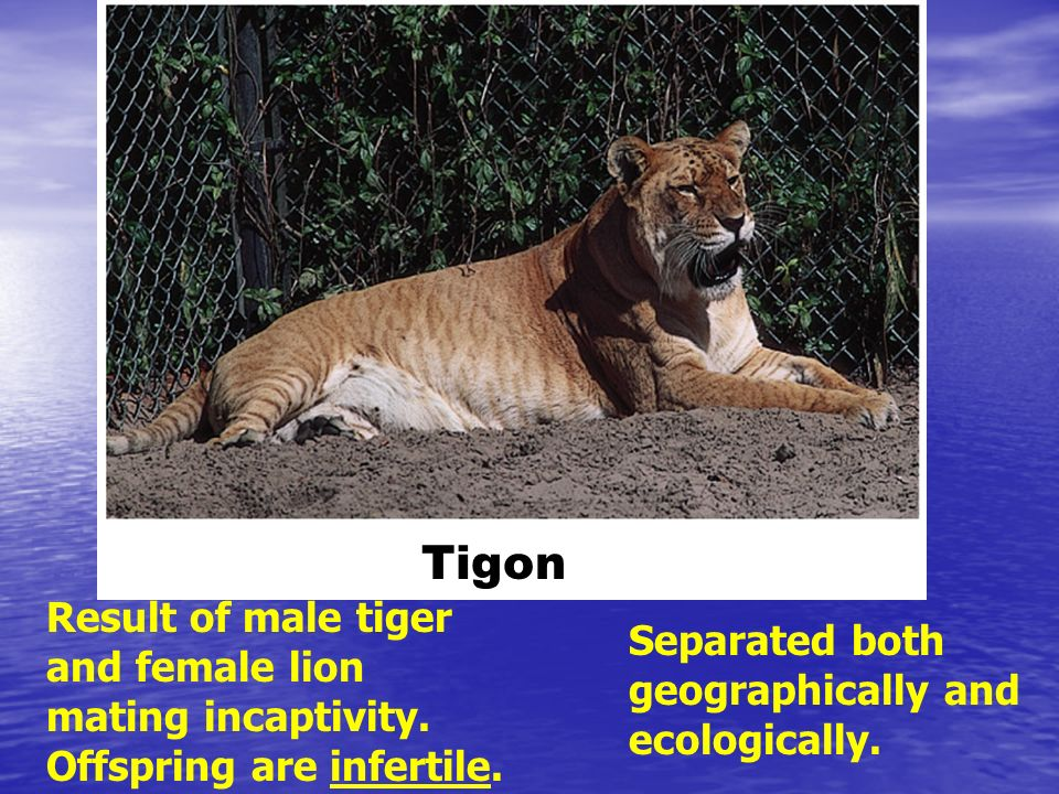 Tigon Result of male tiger and female lion mating incaptivity.
