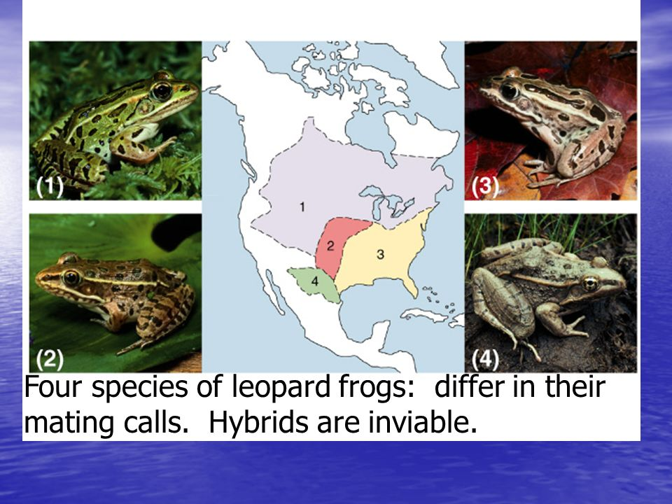 Fig. 23.6 Four species of leopard frogs: differ in their mating calls. Hybrids are inviable.
